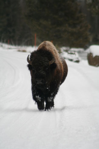 Bison running in Yellowstone