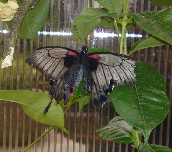 Butterfly at a butterfly exhibit in Switzerland - copyright Sabina von Brodowska