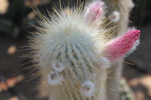 Blooming cactus in cactus garden in Sharm el Sheikh