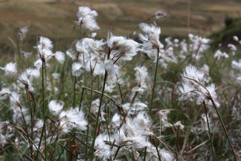 Eriphorum Scheuchzer Flower near Melchsee-Frutt