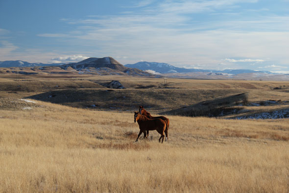 Horses running near Little Belt Mountains