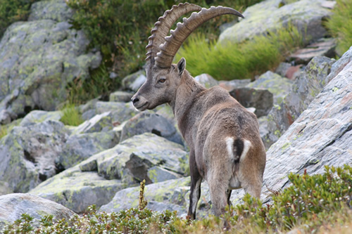 Ibex in the Aiguilles Rouges Reserve