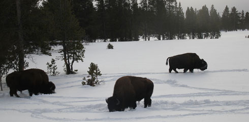 Meeting with the bisons during a snowcoach in Yellowstone Park