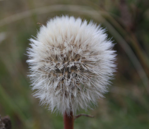 Alpine plant seed