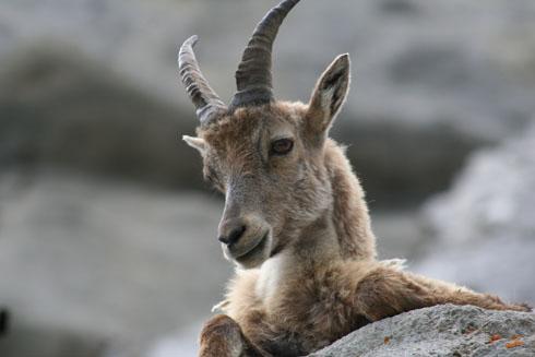 Mountain goat in Pilatus
