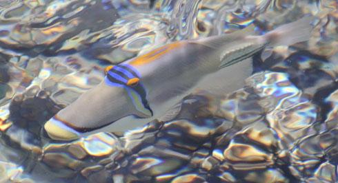 Red Sea Picassofish