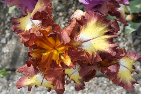 brown-yellow iris