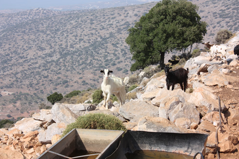 goats in Dikte Mountains