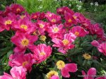 Pink flowers in Zurich Botanical Garden