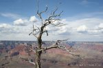 Dead tree in the Grand Canyon